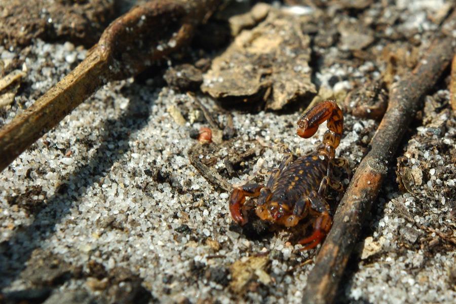 australian-scorpion
