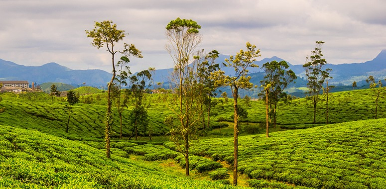 indian-tea-plantations