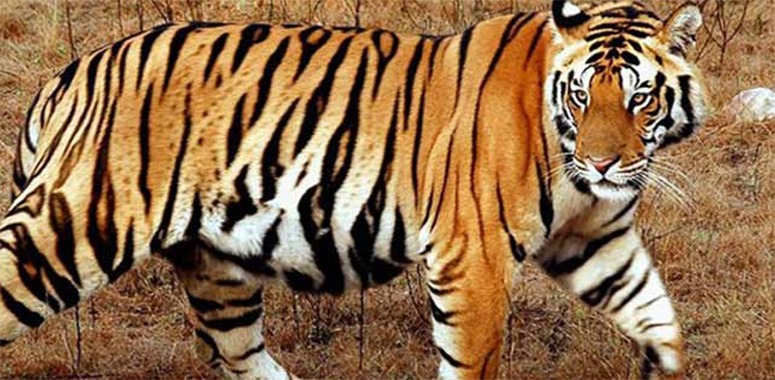 periyar-tiger-Thekkady